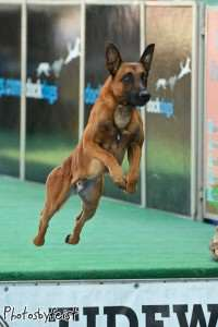 Yeager - 3 year old Belgian Malinois
