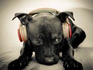 dog-listening-to-red-beats-by-dre-solo-hd